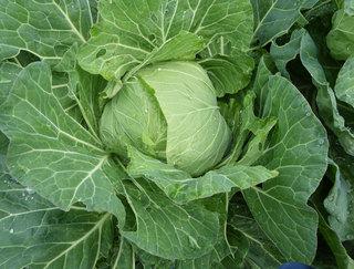 20131104-cabbage.jpg