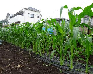 20140622-corn.jpg