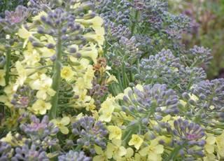 broccoli04102011-1.jpg