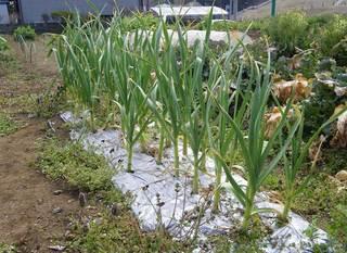 garlic04022011.jpg