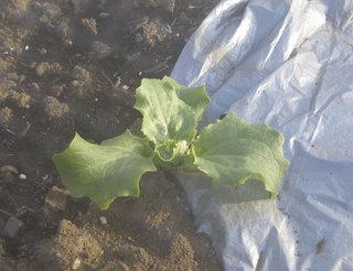 lettuce04022012.jpg