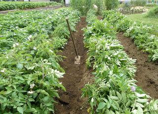 potato-306022012.jpg