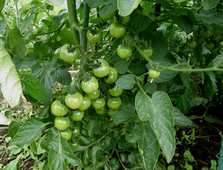 tomato06172012-1.jpg